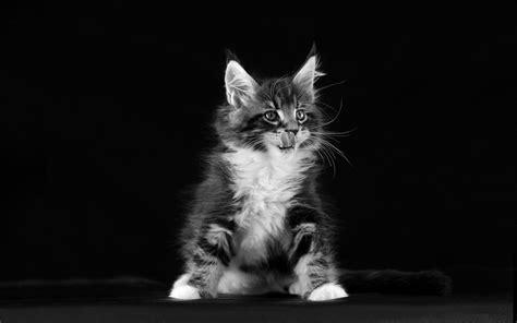 kitten black  white desktop wallpapers hd