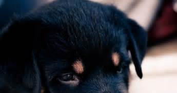 rottweiler price range price range for a rottweiler puppy many