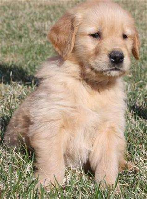 golden retriever breeder melbourne golden retriever puppies for adoption melbourne photo