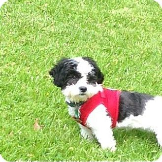 shih tzu rescue tulsa tulsa ok bichon frise shih tzu mix meet oh a for adoption