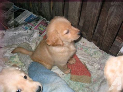 puppies for sale in binghamton ny awesome golden retriever puppies for sale in binghamton new york classified