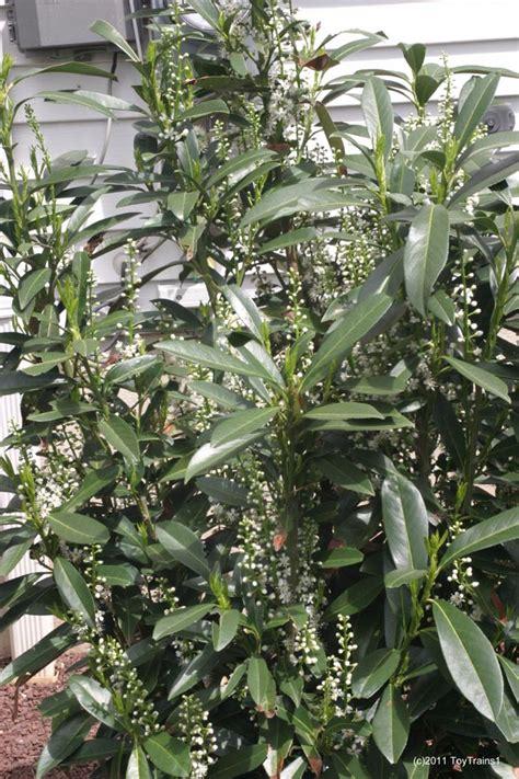 Skip Laurel Plant 404 Not Found