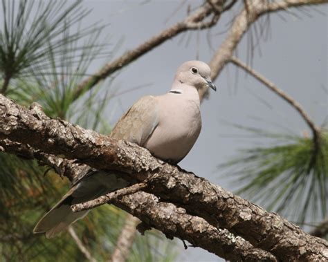 eurasian collared dove photos birdspix