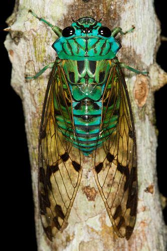 cicada tattoo meaning 17 best ideas about cicada on insect