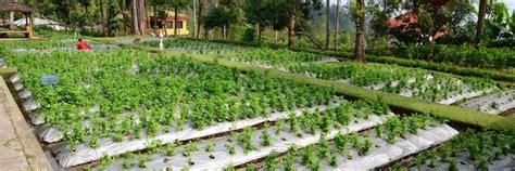 Termurah Hiu Bantugin Obat Herbal Batu Ginjal tanaman obat tanamanobat