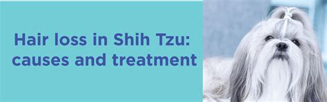 shih tzu hair growth hair loss in shih tzu serious condition that needs to be treated early