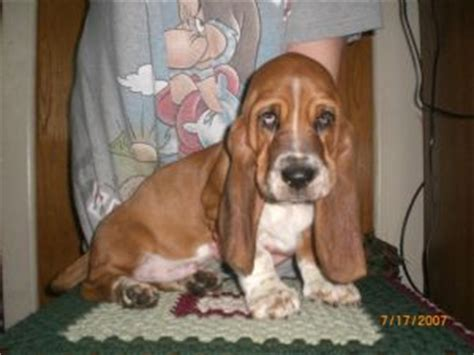 european basset hound puppies for sale basset hound puppies in michigan