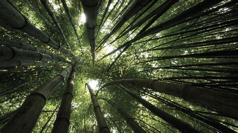 bamboo full hd wallpaper  background image