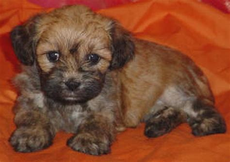 miniature lhasa apso puppies for sale miniature lhasa apso for sale breeds picture