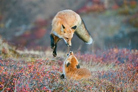 best fox pictures 18 of the best wilderness photos from smithsonian s quot wilderness forever quot contest
