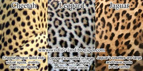 jaguar and cheetah cheetah leopard jaguar the language of fashion