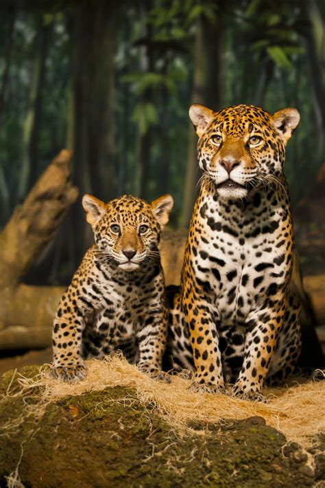 ver imagenes jaguar animal captivating facts about the food jaguars eat and their habitat