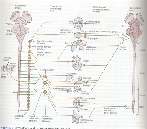 diagram of autonomic nervous system hormones and behavior psyc 4092
