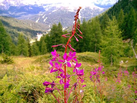 fiori alpini panoramio photo of fiori alpini sopra il lago nambino