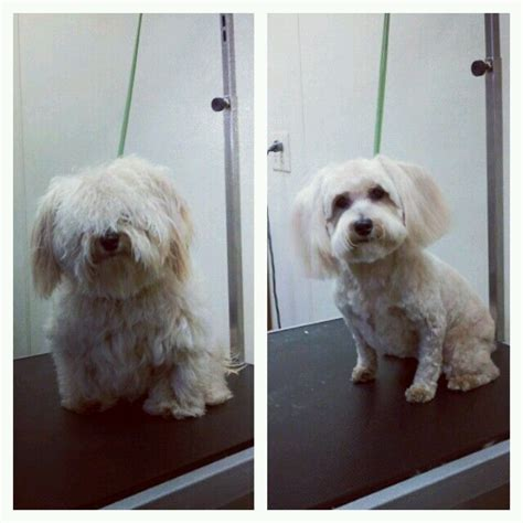 shih poo haircut pictures google search pooch quot shih poo quot before and after dog grooming pinterest