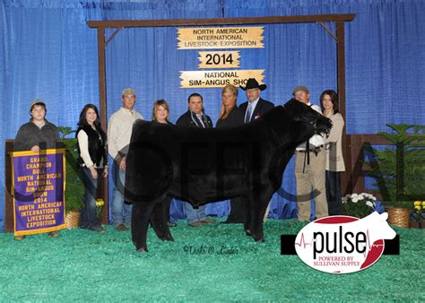 high voltage cattle company naile open simangus backdrop photos the pulse
