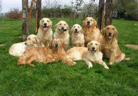 pictures of golden retrievers hareswith golden retrievers home of golden retrievers in