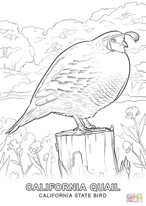 california bird coloring page california state bird coloring page free printable