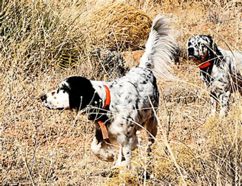 setter dictionary definition llewellin setter ultimate upland bird dogs pheasant and