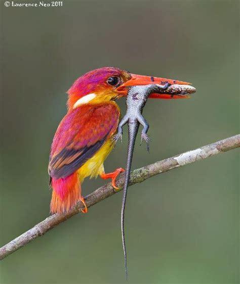 rufous backed kingfisher god s beautiful creatures
