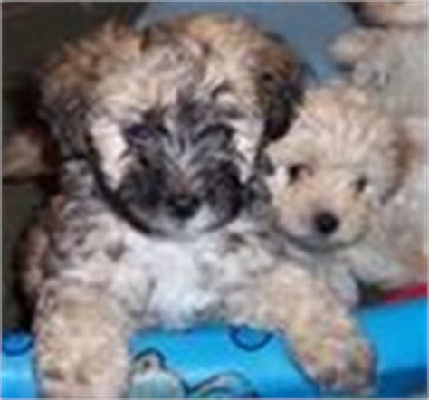 havapoo puppies for sale in pa havapoo puppies for sale havapoo breeders