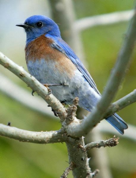 attracting bluebirds to your backyard attracting a bluebird to your back yard this spring