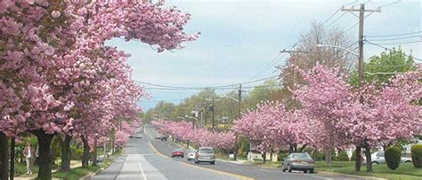 3 cherry tree kinnelon nj honoring joe s cherry trees philly