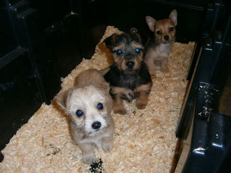 chihuahua cross yorkie puppies for sale gorgeous yorkie cross chihuahua puppies stanmore middlesex pets4homes