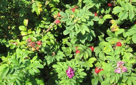 Usda Home Search rose hips growing guide for food use