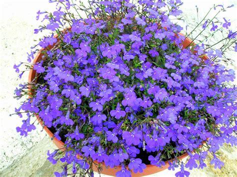 fiori violette foto violette in vaso foto immagini piante fiori e funghi