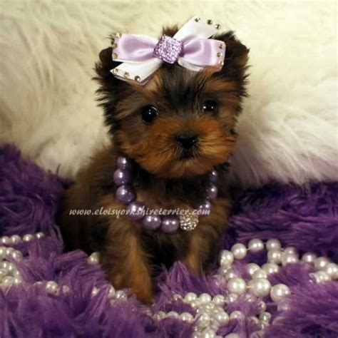 puppy teacup yorkie for sale 21 best images about sit stay teacup miniature terrier on