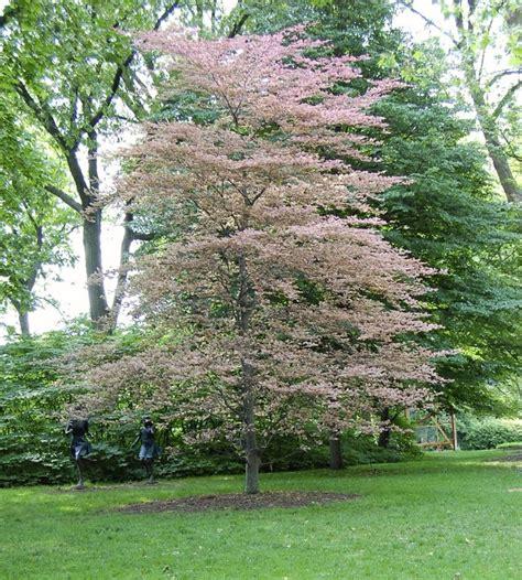 tri color beech tree problems pin by barbara on my secret garden mini farm