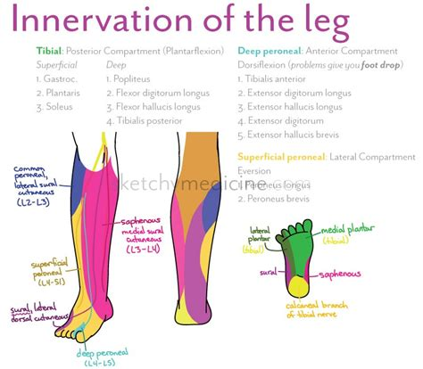 The Leg L by Superficial Peroneal Nerve Innervation