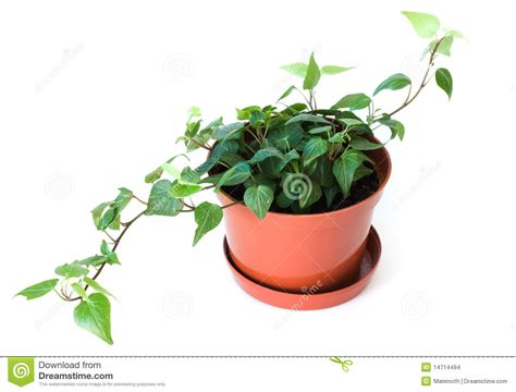 small potted plant isolated on white stock photo image potted plant isolated on white stock images image 14714494