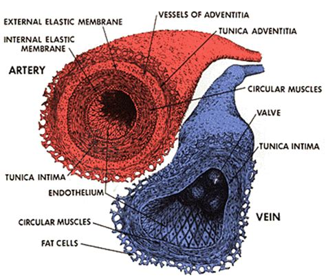 cross section of an artery blood vessels human anatomy