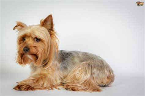 kennel a yorkie important questions to ask the breeder of your potential new terrier