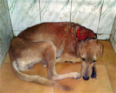 maggots in dogs maggot wound in thane spca thane spca