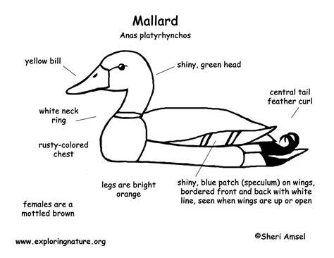 duck diagram duck mallard