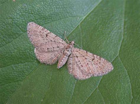 grey pug moth 70 176 bf1827 freyer s pug geometridae eupithecia intricata