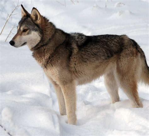 tamaskan puppy tamaskan in the snow photo and wallpaper beautiful tamaskan in the snow pictures