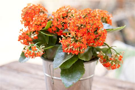 Modern Home Design Sri Lanka by Growing Kalanchoe Plants Indoors