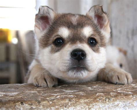 puppy pup husky pup husky wallpaper