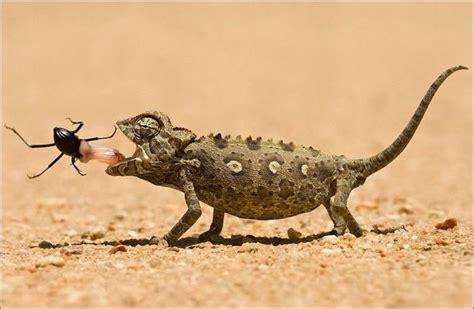 what do backyard lizards eat lizard eats beetle animals eating pinterest a bug