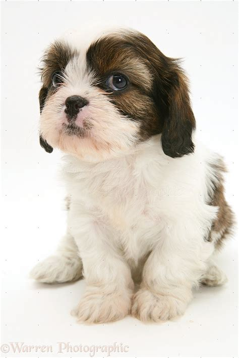 cavalier x shih tzu cavazu pup photo wp39129