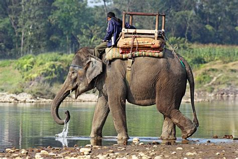 elephant biography in hindi indian elephant the life of animals