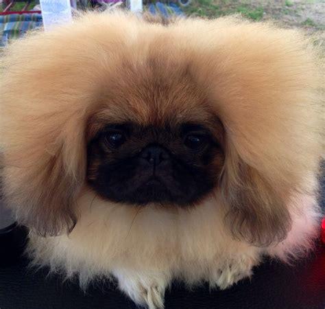 pekingese poodle lifespan 1000 images about pekingese on
