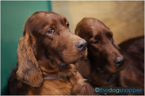 hungarian setter dog hungarian wirehaired vizsla the dog snapper