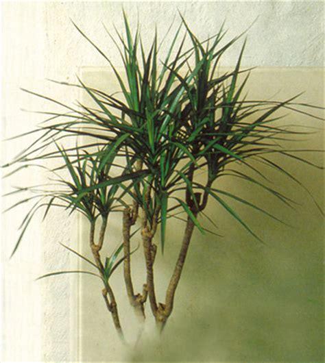 Bien Plantes Depolluantes Pour La Maison #6: Dracaena_marginata.jpg