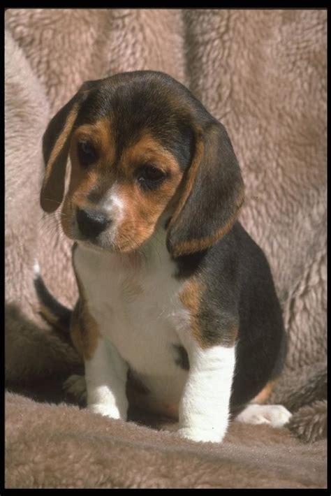 beagle puppies san antonio beagle canis lupus familiaris 개 비글 gt image only