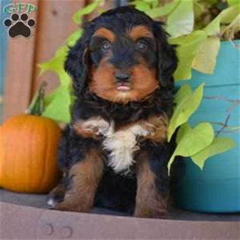 doodlebug jackson ga miniature bernedoodle puppies for sale greenfield puppies